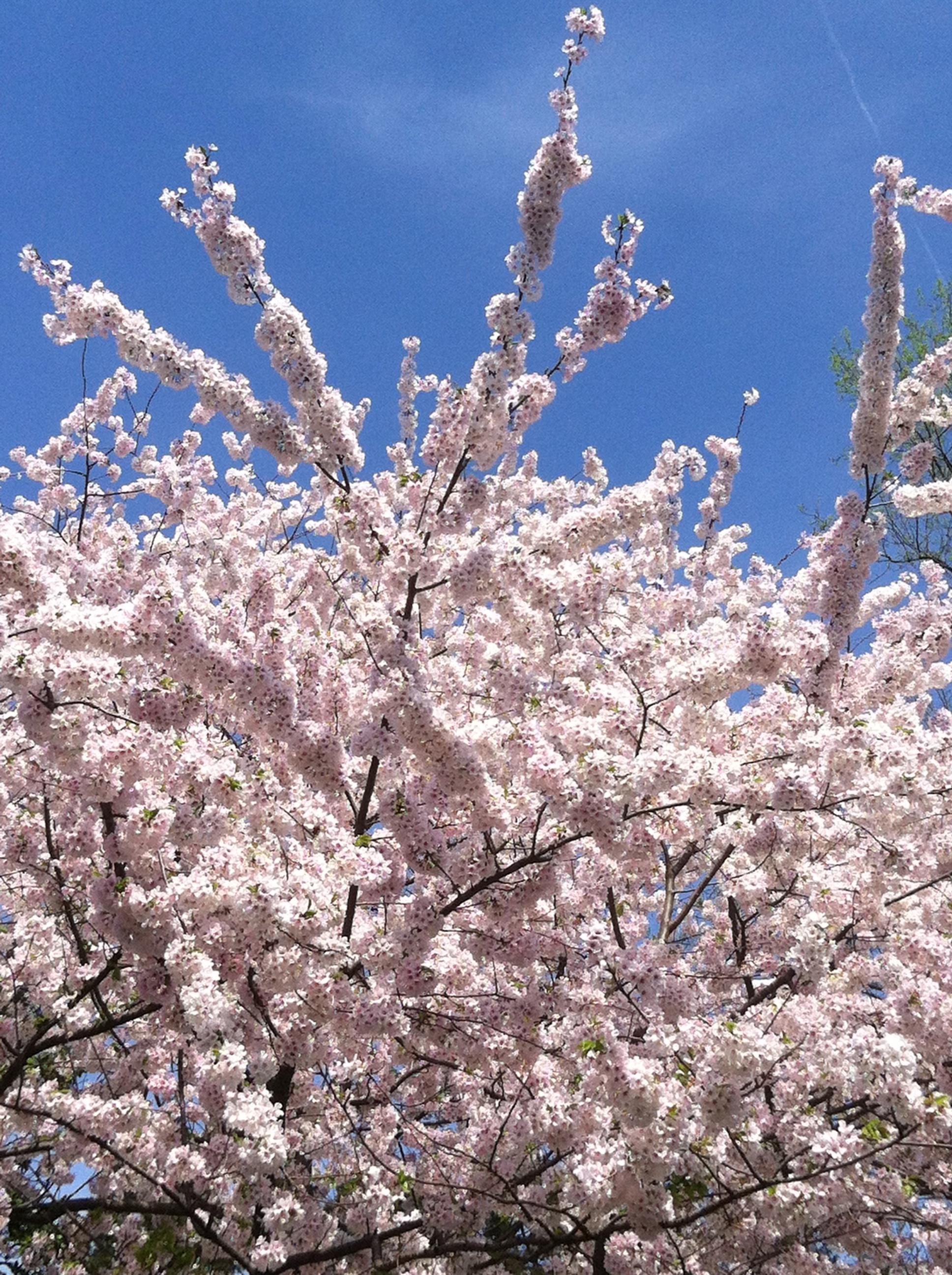 Washington D C Cherry Blossoms An Alternative Mccool